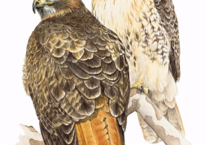 Chris Rowlands-Red Tail Hawks